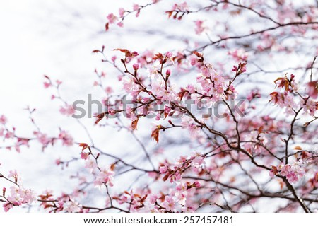 sakura cherry in bloom - stock photo