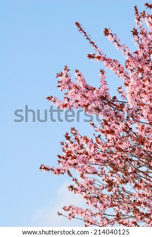 Sakura cherry tree with blossoms and blue sky background - stock photo