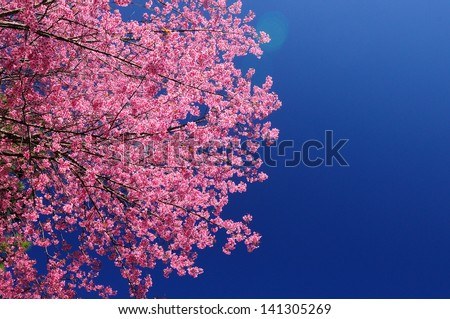 Sakura flower blooming in garden, ChiangMai Thailand - stock photo