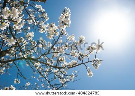 Sakura flower framing the nice blue sky with the sun - stock photo