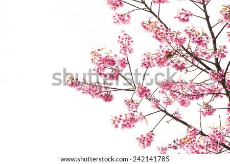 Sakura Flower or Cherry Blossom on White Background - stock photo