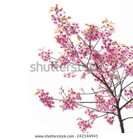 Sakura Flower or Cherry Blossom on White Background - stock photo