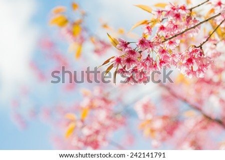Sakura Flower or Cherry Blossom with Beautiful Background - stock photo