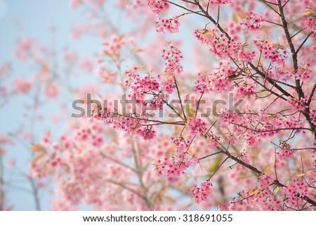 Sakura Flower or Cherry Blossom With Beautiful Nature Background - stock photo