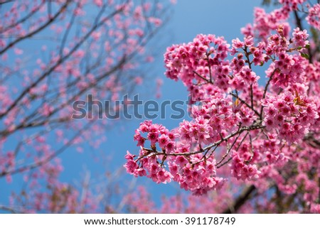 Sakura Flower or Cherry Blossom with blue sky. - stock photo