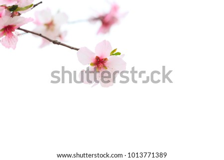 Sakura flower or Japanese Cherry Blossoms (Prunus serrulata) isolated on white background. (Selective Focus)