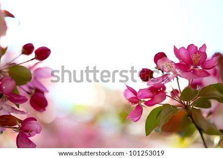 Sakura flowers blooming. Beautiful pink cherry blossom - stock photo