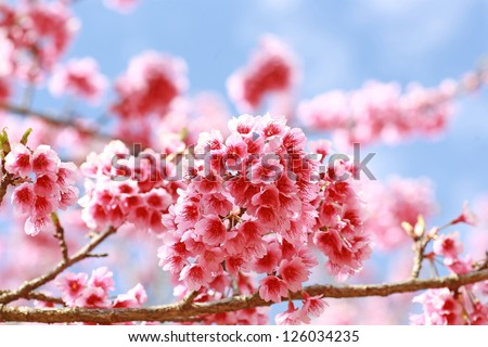 Sakura flowers blooming blossom in Chiang Mai, Thailand - stock photo