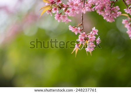 Sakura flowers blooming blossom on mountain in Chiang Mai, Thailand - stock photo