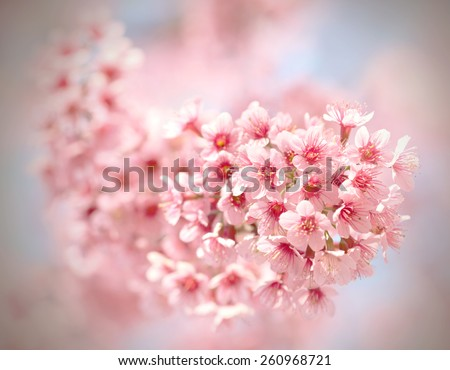 Sakura flowers blooming in northern Thailand, vintage filter - stock photo