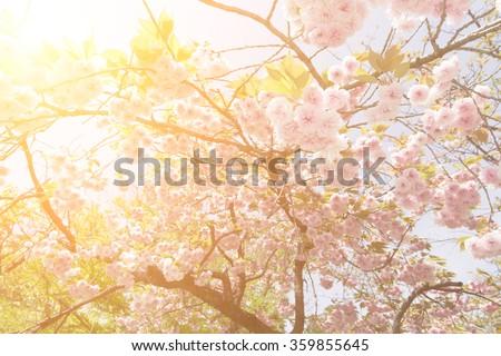 Sakura flowers in daytime at Kyoto with nobody. - stock photo