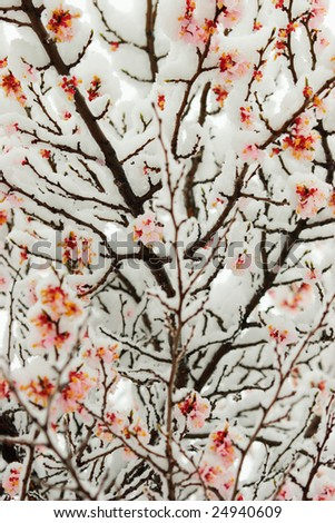 Sakura flowers in snow - rare natural phenomenon! - stock photo