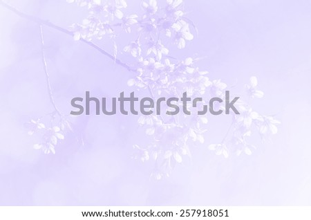 Sakura in soft style background - stock photo