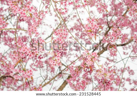 Sakura in the spring garden. Pink flowers.beautiful cherry blossom in daylight ,ChiangMai north of thailand