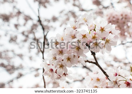 Sakura is Beautiful pink cherry blossom flower at full bloom in Japan