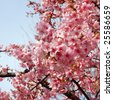 Sakura (Japanese Cherry Blossom) - stock photo