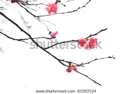 Sakura japanese cherry blossoms - stock photo