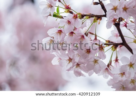 Sakura or cherry blossom flower full bloom in blue sky  spring season.
