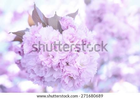 Sakura. Spring blooming pink cherry on the sky background - stock photo