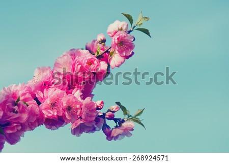 Sakura. Spring is coming.  - stock photo
