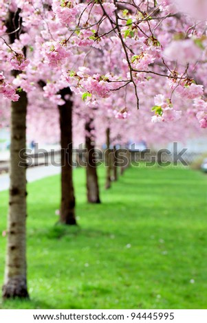 Sakura tree pink flower green grass - stock photo