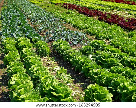 salad and vegetable cultivation - stock photo