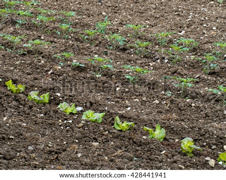 Salad crops in vegetable garden.  Tomatoes and lettuce. - stock photo