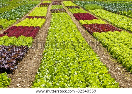 salad cultivation - stock photo