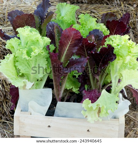 salad greens from the garden in a wicker basket - stock photo
