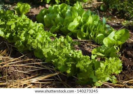 Salad growing in mulch - stock photo
