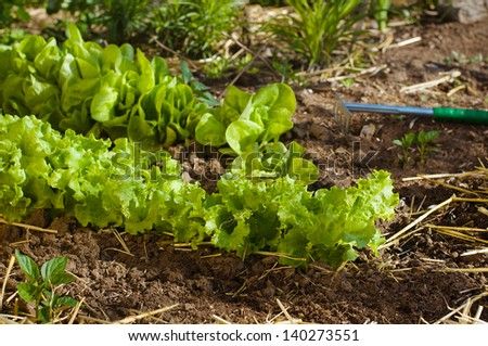 Salad growing in mulch with gardening tool rake. Salad in focus. - stock photo