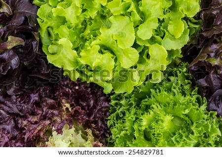 Salad leaves with Green Oak,  Red Leaf Lettuce, Frillice Iceberg and Red Romaine as a background. isolated on white  - stock photo