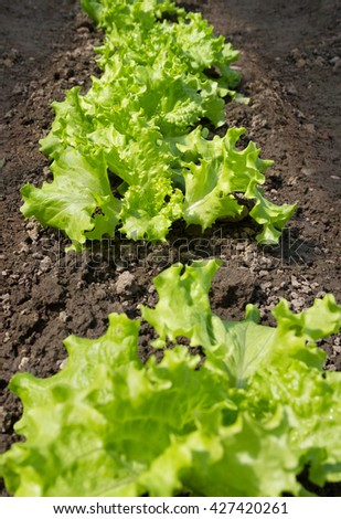 Salads growing outdoor in a spring time. - stock photo