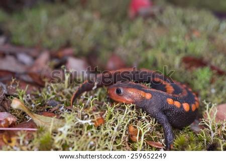 Salamander (Himalayan Newt) found in Phuluang Wildlife Sanctuary at Loei, Thailand. - stock photo