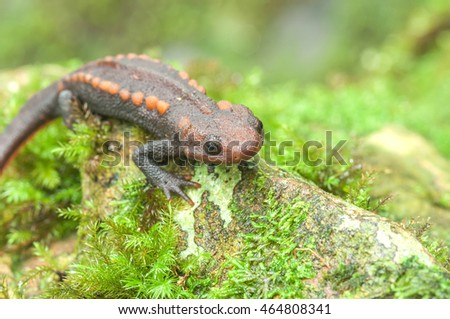 Salamander in Completely natural forests in Asia, Thailand.
