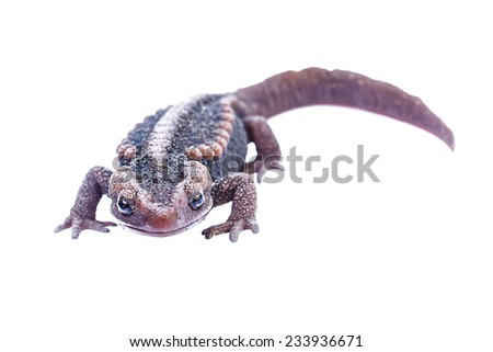 Salamander isolate on white background