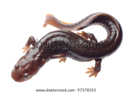 salamander newt isolated on white - stock photo