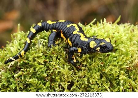 Salamander on moss - stock photo