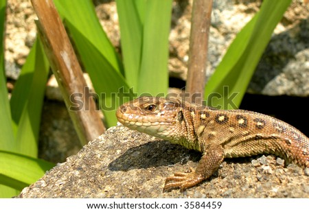 Salamander on the stone looking for a pray. - stock photo