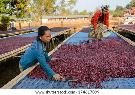 SALAVAN, LAO PDR - JANUARY 26: Unidentified coffee farmers are drying red coffee berries at  Ba-an Dong village, January 26, 2014, Lao Ngam,Salavan, Lao PDR.