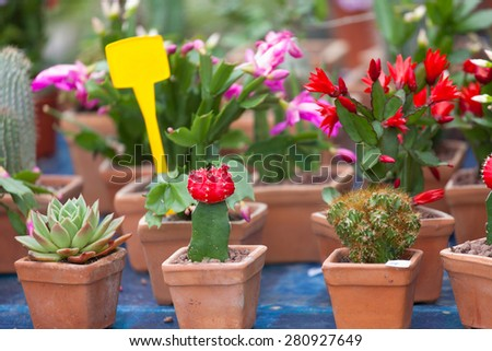Sale of cactuses of different grades in flower shop - stock photo