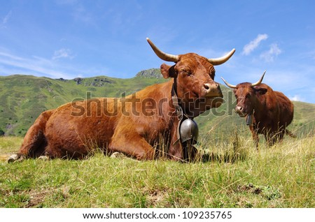 Salers cows in french mountains - stock photo