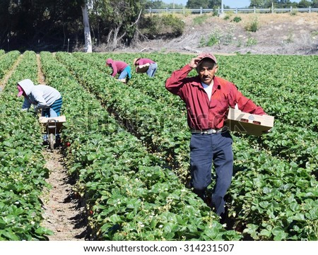 Salinas, California, USA - June 19, 2015: Immigrant (migrant) seasonal farm (field) workers pick and package strawberries directly into boxes in the Salinas Valley of central California.