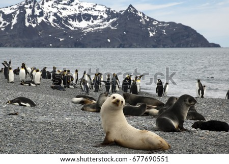 Salisbury Plain South Georgia Islands, panorama of beach with white antarctic fur seal in foreground