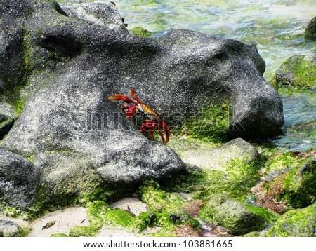 Sally Light-foot Crab on a Rock, Galapagos Islands - stock photo