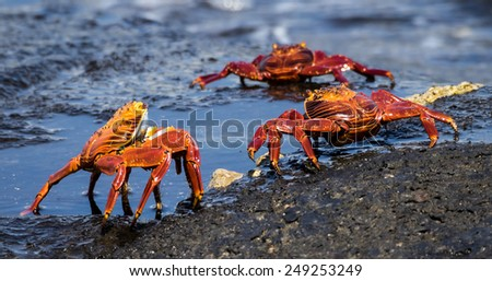 Sally Light footed crab Galapagos Islands National Park - Ecuador South America - stock photo