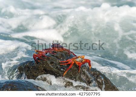 Sally Lightfoot crab, Grapsus grapsus. Galapagos Islands, Ecuador. The Galapagos Islands are a UNESCO World Heritage Site. - stock photo