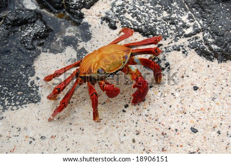Sally Lightfoot Crab (Grapsus grapsus) inhabits the Galapagos Islands. Lives amongst the rocks, feeds on algae primarily. It is a quick-moving crab and hard to catch. It is used as bait by fishermen. - stock photo