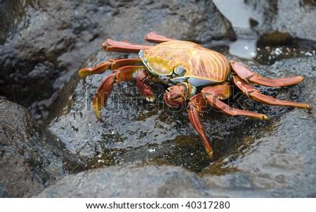 Sally Lightfoot Crab of the Galapagos Islands - stock photo