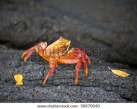 Sally Lightfoot Crab on the lava rocks in the Galapagos - stock photo